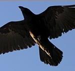 Raven (Libra)