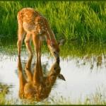 Deer Medicine