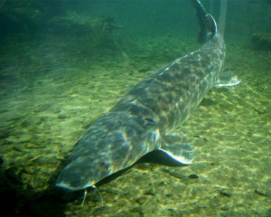 Sturgeon (sign of Leo)