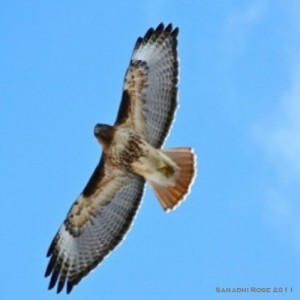 Red Hawk (photo by Samadhi Janet Rose)