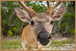 deer-look