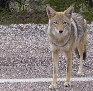 shawnodese-coyote